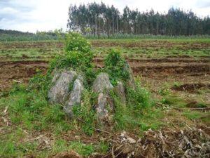 Anta de Zarramacedo ou dolmen das Derramadas, en Bando, Santiago, antes de ser consumido por un eucaliptal /