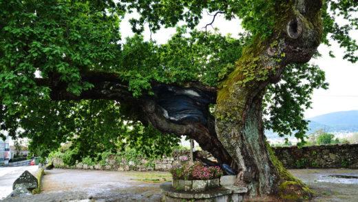 O temor a unha traxedia activa o plan para recuperar o carballo sagrado e centenario de Mourente
