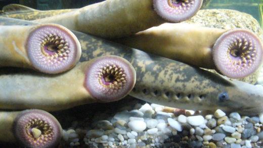 A lamprea, que se utilizou como animal de tortura, xa ten museo propio
